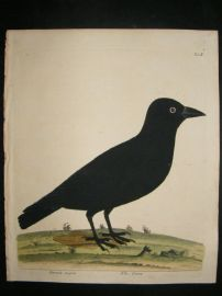 Albin: 1730's Hand Colored Bird Print. Crow.